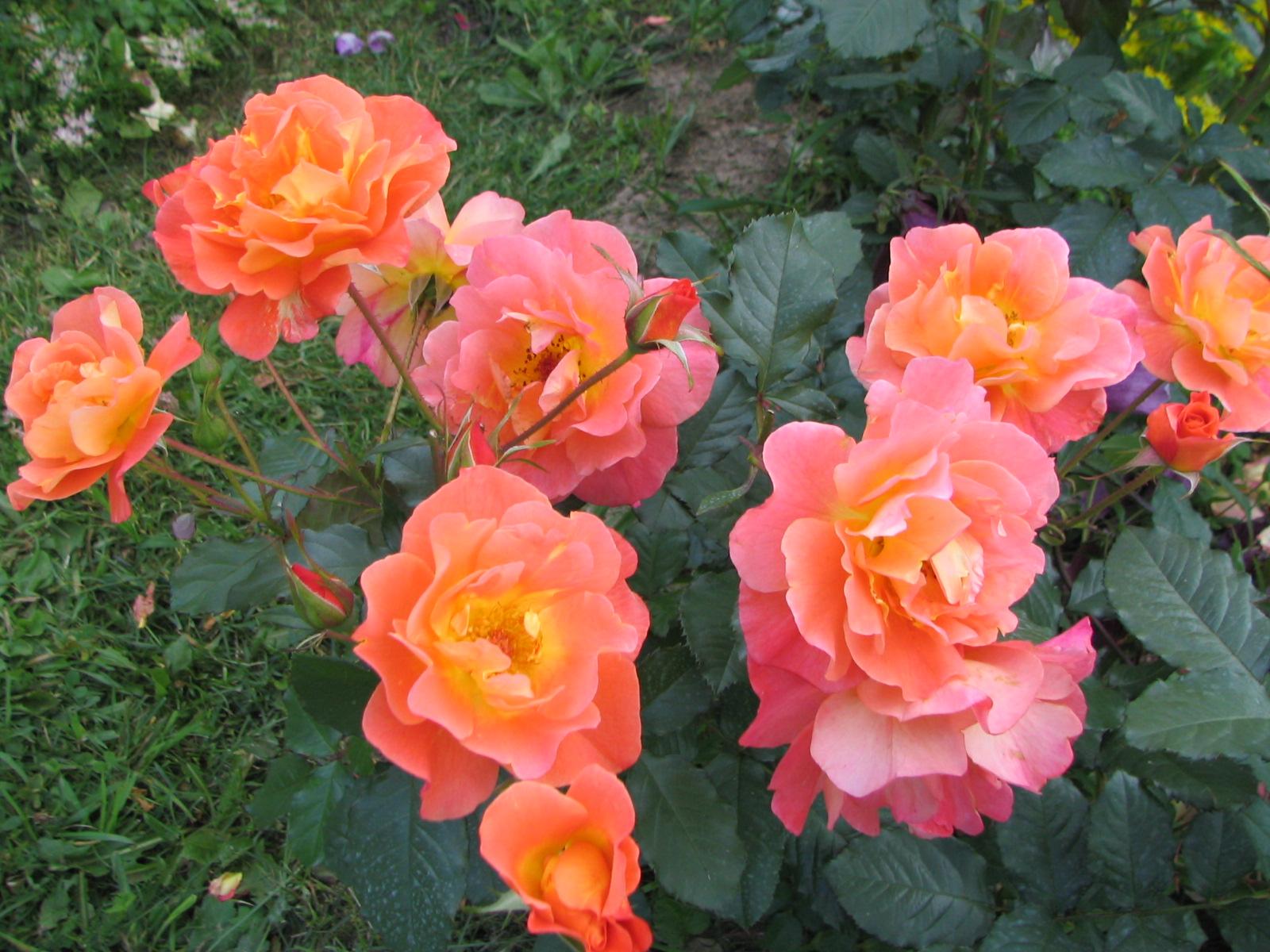 что, можно роза парковая вестерленд фото описание рамка карта